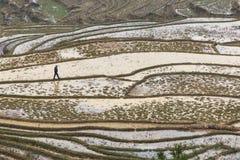 Agricoltore che cammina fra i terrazzi del riso di Sapa in vietnam del nord Immagine Stock Libera da Diritti