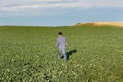 Agricoltore che cammina nel giacimento della soia Fotografia Stock