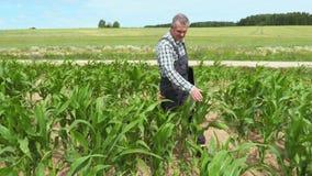 Agricoltore che cammina sul cattivo campo di grano crescente