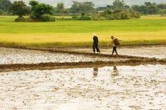 Agricoltore che cammina sul giacimento del riso Fotografia Stock