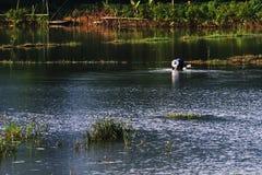 Agricoltore che cerca le lumache su acqua Fotografia Stock Libera da Diritti