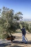 Agricoltore che colpisce albero con un bastone durante la raccolta Immagine Stock Libera da Diritti
