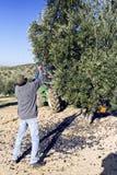 Agricoltore che colpisce albero con un bastone durante la raccolta Fotografia Stock