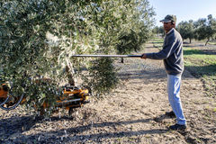 Agricoltore che colpisce albero con un bastone durante la raccolta Immagini Stock