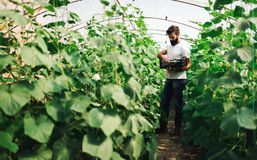 Agricoltore che controlla cetriolo in una serra Immagine Stock