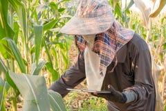 agricoltore che controlla crescita di cereale e che utilizza compressa nel campo fotografia stock