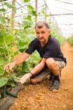 Agricoltore che controlla i cetrioli in serra Piccoli cetrioli maturi in mani degli agricoltori Produzione di verdure della serra Fotografia Stock