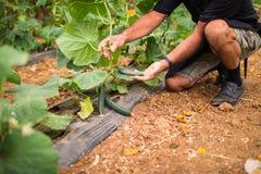 Agricoltore che controlla i cetrioli in serra Piccoli cetrioli maturi in mani degli agricoltori Produzione di verdure della serra Fotografie Stock