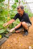 Agricoltore che controlla i cetrioli in serra Piccoli cetrioli maturi in mani degli agricoltori Produzione di verdure della serra Fotografia Stock Libera da Diritti