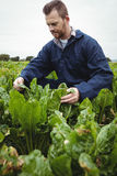 Agricoltore che controlla i suoi raccolti nel campo Fotografia Stock