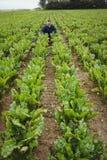 Agricoltore che controlla i suoi raccolti nel campo Fotografia Stock Libera da Diritti