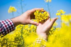 Agricoltore che controlla la qualità del seme di ravizzone Fotografia Stock