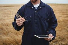 Agricoltore che controlla le orecchie di grano mentre utilizzando compressa digitale nel campo Immagini Stock