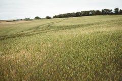 Agricoltore che controlla le orecchie di grano mentre utilizzando compressa digitale nel campo Immagine Stock
