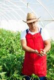 Agricoltore che controlla le piante dei peperoni in serra Immagini Stock Libere da Diritti