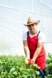 Agricoltore che controlla le piante dei peperoni in serra Fotografie Stock