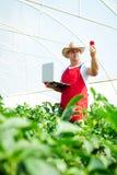 Agricoltore che controlla le piante dei peperoni in serra Immagini Stock