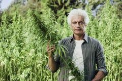 Agricoltore che controlla le piante della canapa Fotografia Stock Libera da Diritti