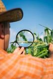Agricoltore che controlla le piante di cereale Fotografia Stock