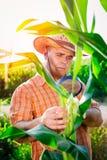 Agricoltore che controlla le piante di cereale Fotografia Stock Libera da Diritti