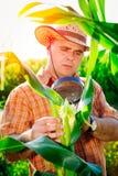 Agricoltore che controlla le piante di cereale Immagine Stock