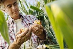 Agricoltore che controlla le piante di cereale nel campo Fotografie Stock