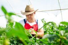Agricoltore che controlla le piante organiche dei peperoncini rossi Fotografie Stock Libere da Diritti