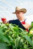 Agricoltore che controlla le piante organiche dei peperoncini rossi Fotografia Stock