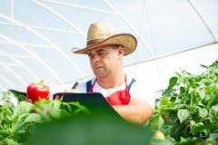 Agricoltore che controlla le piante organiche dei peperoncini rossi Fotografie Stock