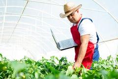 Agricoltore che controlla peperoncino rosso organico Immagine Stock Libera da Diritti