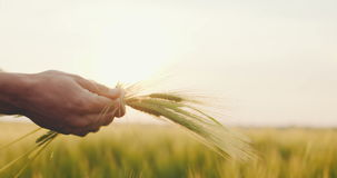 Agricoltore che controlla qualità del grano prima della raccolta stock footage