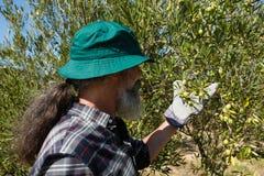 Agricoltore che controlla un albero delle olive Fotografia Stock Libera da Diritti