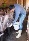 Agricoltore che dà alimento appallottolato ai maiali Immagine Stock