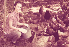 agricoltore che dà la roba di alimentazione ai polli Immagini Stock