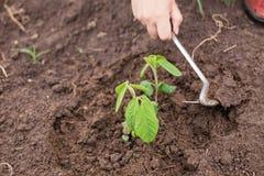 Agricoltore che diserba la giovane pianta della soia Immagini Stock Libere da Diritti
