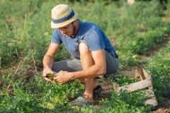 Agricoltore che effettua il raccolto fresco di prezzemolo sul campo all'azienda agricola organica di eco Fotografia Stock