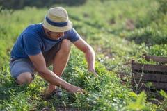 Agricoltore che effettua il raccolto fresco di prezzemolo sul campo all'azienda agricola organica di eco Fotografie Stock
