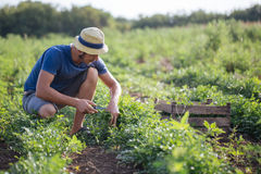 Agricoltore che effettua il raccolto fresco di prezzemolo sul campo all'azienda agricola organica di eco Fotografie Stock Libere da Diritti