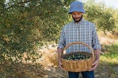 Agricoltore che esamina canestro delle olive Fotografia Stock