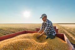 Agricoltore che esamina i grani del cereale in rimorchio di trattore Fotografia Stock