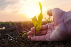 Agricoltore che esamina la giovane pianta coltivata del mais del cereale verde fotografia stock