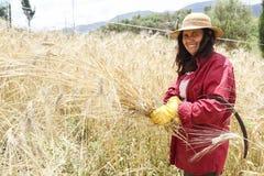 Agricoltore che fa il raccolto tradizionale del grano in Grecia Fotografie Stock Libere da Diritti