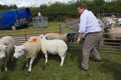 Agricoltore che giudica le pecore alla manifestazione dell'azienda agricola in Galles Immagine Stock Libera da Diritti