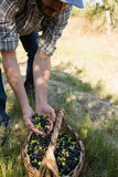 Agricoltore che giudica una mano piena delle olive in azienda agricola Fotografie Stock Libere da Diritti