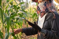 Agricoltore che guarda crescita e che usando tecnologia per aiutare i dati agricoli record immagine stock