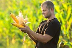 Agricoltore che guarda una pannocchia in un campo di mais Fotografia Stock Libera da Diritti