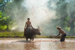 Agricoltore che immerge acqua e che getta al bufalo del bagno Immagine Stock