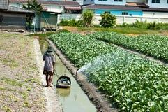 agricoltore che innaffia nel campo del cavolo riccio fresco Immagine Stock Libera da Diritti