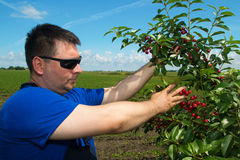 Agricoltore che ispeziona frutta nel frutteto di ciliegia Immagine Stock Libera da Diritti