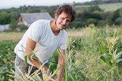 Agricoltore che ispeziona il raccolto del cereale al campo dell'azienda agricola organica di eco Immagini Stock